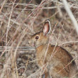 Cottontail Rabbit in Manitoba — Stock Photo