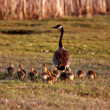 Stock Photo: Goslings following CanadGoose parent
