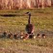 Stockfoto: Goslings following CanadGoose parent