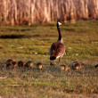 Goslings following Canada Goose parent - Stock Photo