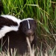 Young Striped Skunk in roadside ditch — Stock Photo #4922793