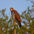 Swainson's Hawk perched on branch end - Stock Photo