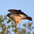 Swainson's Hawk perched on branch end - Stock fotografie