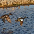 Blue winged Teal pair flying over roadside pothole - Stock Photo