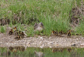 Mallard hen with duckling beside pond — Stock Photo