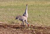 Sandhill Cranes during courting season — Stock Photo