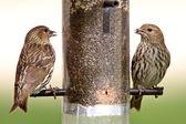 Song Sparrows at bird feeder — Stock Photo