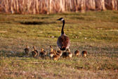 Goslings following Canada Goose parent — Stock Photo