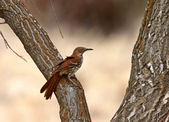 Brown Thrasher on tree trunk — Stock Photo