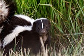 Young Striped Skunk in roadside ditch — Stock Photo