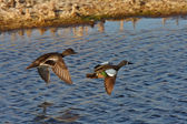 Blue winged Teal pair flying over roadside pothole — Stock Photo