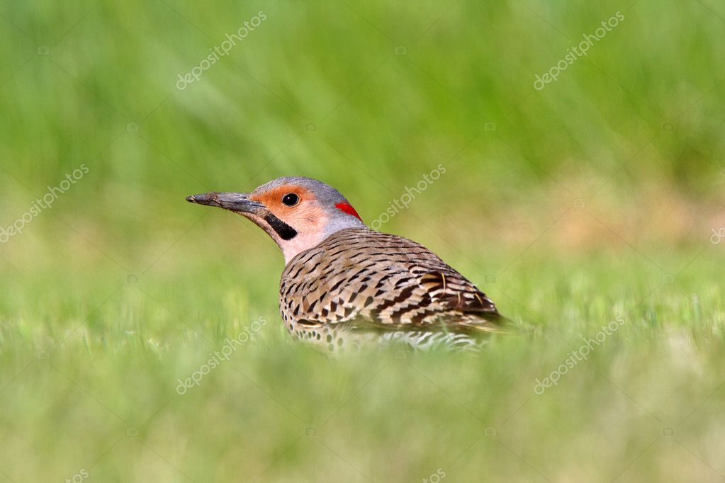 Northern Flicker in grass — Stock Photo #4922094