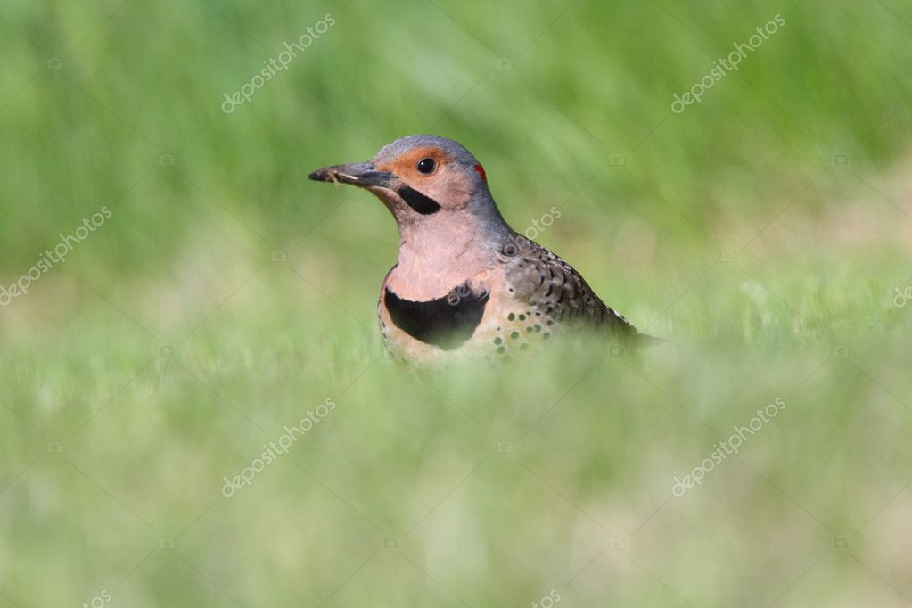 Northern Flicker in grass — Stock Photo #4922096