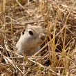 Stock Photo: Gopher peaking out of burrow in spring