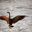 Canada Goose landing on the ice of Buffalo Pound Lake — Stock Photo