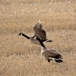 Pair of Canada Geese in early spring — Stock Photo #4950509