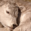 Young Calf sleeping on its shoulder — Stock Photo