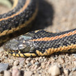 Dead garter snake on gravel road — Stock Photo