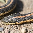 Dead garter snake on gravel road — Stock Photo #4950552