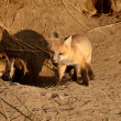 Stock Photo: Red Fox pups at den