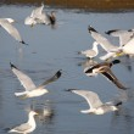 Mallard in flight near gulls — Stock Photo