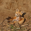Stock Photo: Red Fox pup outside its den