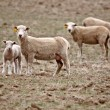 A lamb with three ewes in Saskatchewan pasture - Stock Photo