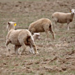 Lamb underneath an ewe in Saskatchewan pasture - Stock Photo