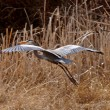 Great Blue Heron taking flight - Stock Photo