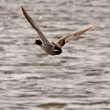 Stock Photo: Gadwall drake in flight over roadside pond