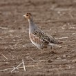 Gray Partridge in Saskatchewan field - Stockfoto