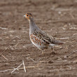 Stock Photo: Gray Partridge in Saskatchewfield