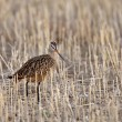Marbled Godwit in stubble field — Stock fotografie