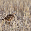 Marbled Godwit in stubble field — Foto de Stock