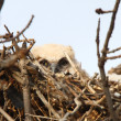 Great Horned Owlet in nest - Stockfoto
