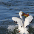 White Pelican in QuAppelle River - Stockfoto