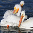 White Pelicans in QuAppelle River - Stock fotografie