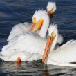 White Pelicans in QuAppelle River - Stockfoto