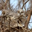 Great Horned Owl adult and and owlet in nest - Stock Photo