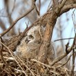 Great Horned Owl owlet in nest — Stock Photo
