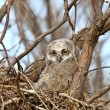 Stock Photo: Great Horned Owl owlet in nest