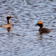 Horned Grebes in a roadside pothole - Stockfoto