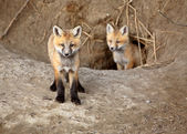 Two Red Fox pups outside their den — Stock Photo