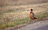 Male and female Ring necked Pheasants beside a country road — Stock Photo