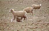 Lamb suckling on its ewe — Stock Photo