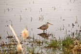 Marbled Godwit in Saskatchewan roadside slough — Stock Photo