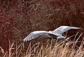 Great Blue Heron taking flight — Stock Photo