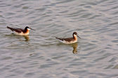 Pair of Wilson's Phalaropes at Chaplin Lake — Stock Photo