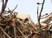 Great Horned Owlet in nest — Stock Photo