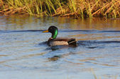 Mallard drake swimming in roadside slough — Stock Photo
